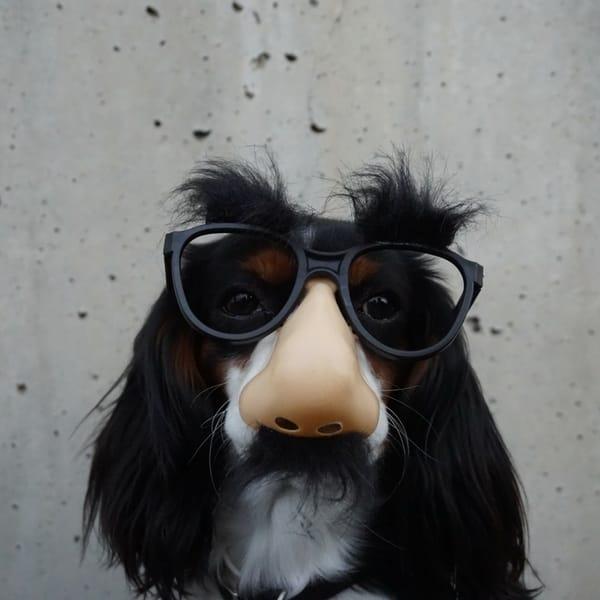 Forbrugslån i forklædning - Hund med briller og kunstig næse på billedet